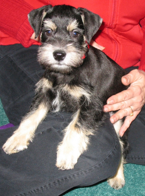 I love people!!    8 week old Black & Silver Male  - SOLD