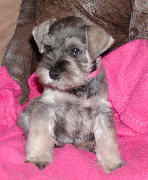Salt & Pepper female   8 weeks old - SOLD