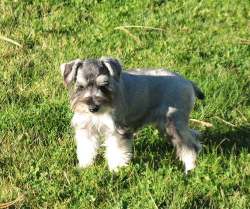 'The sun is shining in my eyes'    Salt & pepper female at 3 months old - SOLD