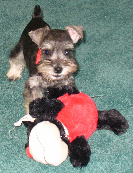 I love my ladybug toy...ruff!  8 week old salt & pepper male-SOLD