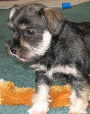 female dark salt & pepper 7 weeks old - SOLD