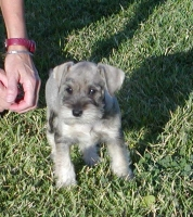 taken at 8 weeks old...salt and pepper  female- SOLD