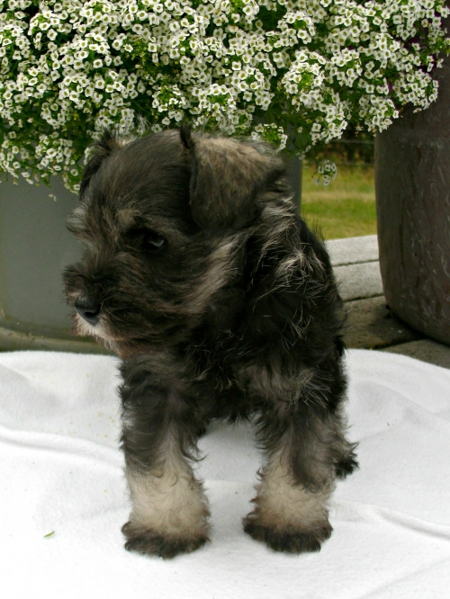 salt & pepper female- 6 weeks old - SOLD, Molly's puppy