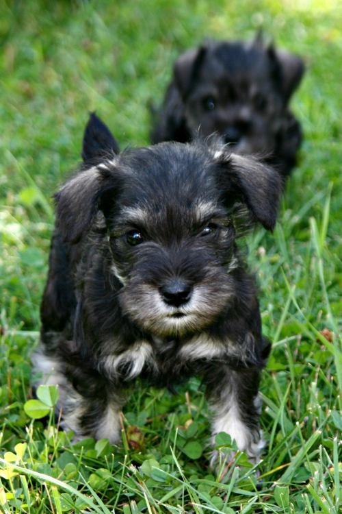 female- dark salt & pepper 6 weeks old - sold,  Molly's puppy
